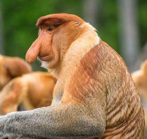 Proboscis Monkey (Nasalis larvatus) endemic  of Borneo.  Male portrait with a huge nose